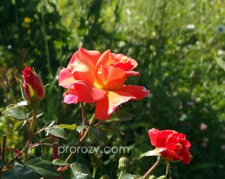 Дорогие любители роз, эта фотография  — большого размера, годится в качестве обоев на рабочий стол. Нажмите, чтобы увеличить.