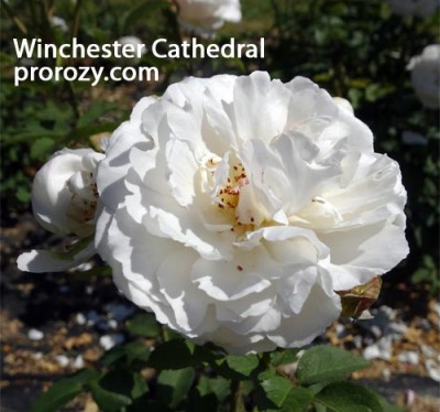 Winchester-C1