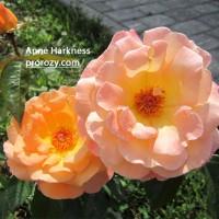Rosemary Harkness