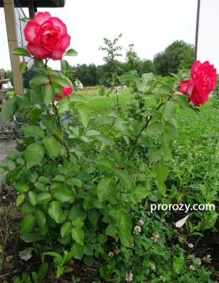 Типичная чайно-гибридная роза: вверх от земли идут побеги, практически без разветвлений. И каждый побег заканчивается красивым, крупным цветком