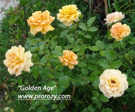 Как видно, на кусте сложно найти два цветка одинакового тона - одни почти белые, а другие - почти оранжевые...
