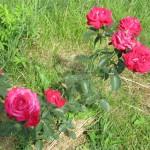 Розы на глине