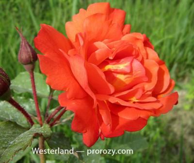 westerland-3