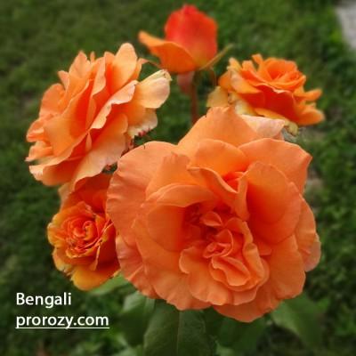 bengali3