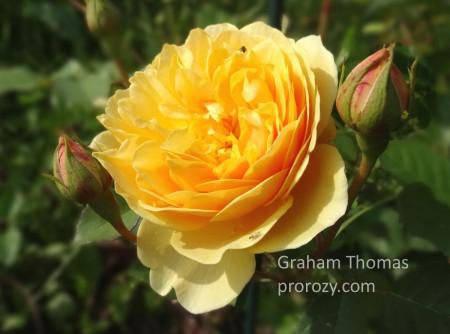 graham-thomas--3