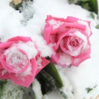 Когда укрывать розы?