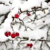 Простое укрытие роз на зиму лутрасилом