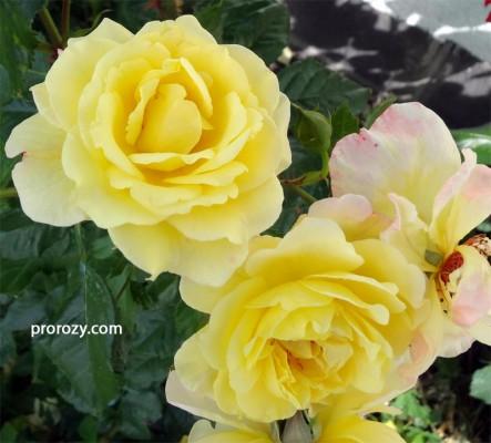 Такой желтый цвет бывает только в первый день после роспуска, на солнце цветы довольно быстро розовеют, а затем - белеют.