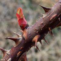 Виды обрезки роз
