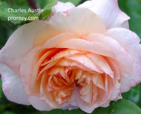 При выцветании, если солнца было не очень много, серединка остается абрикосового окраса.