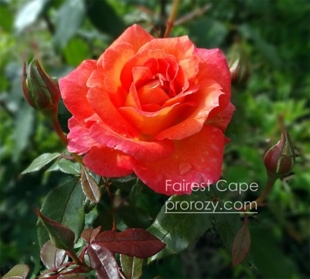 Fairest-Cape