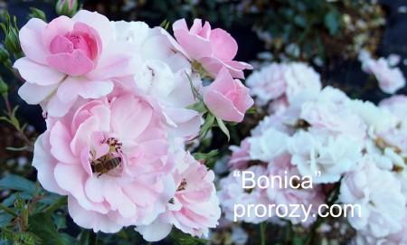 bonica-1