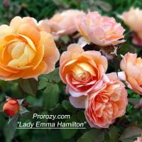 Как продлить цветение роз?..