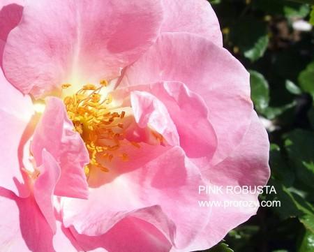 pink-rob2
