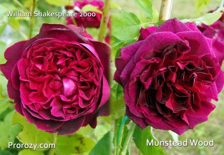 Munstead-Wood-3