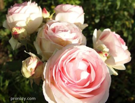 eden-rose3