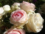 eden-rose4