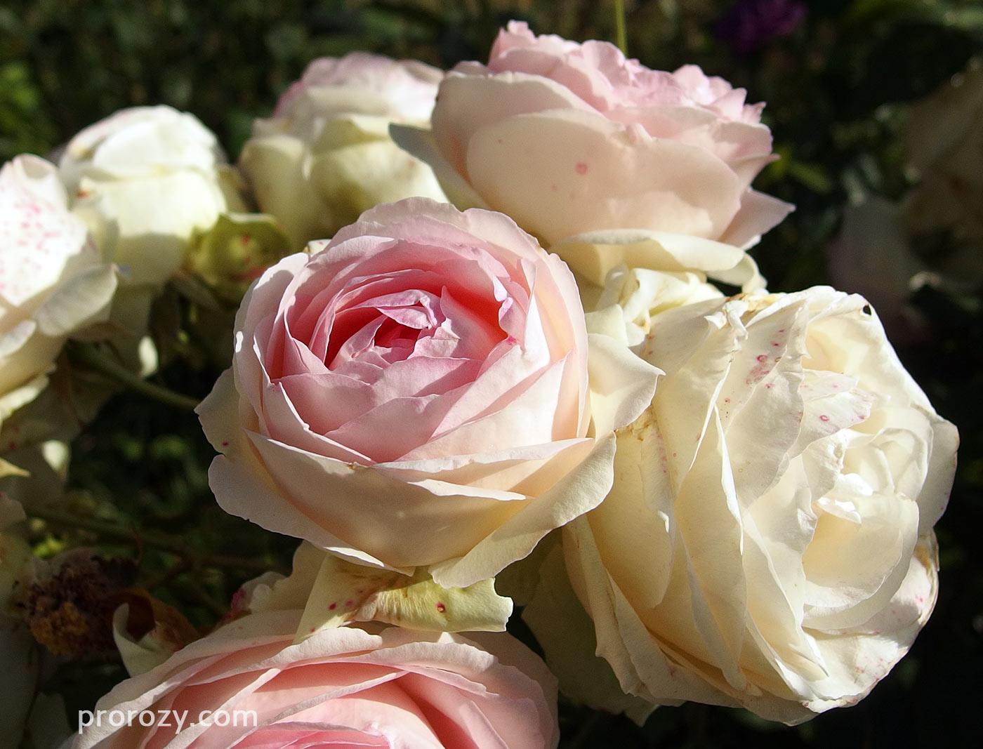 Цвет побега розы