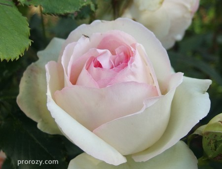 eden-rose7