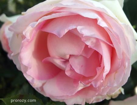 eden-rose8